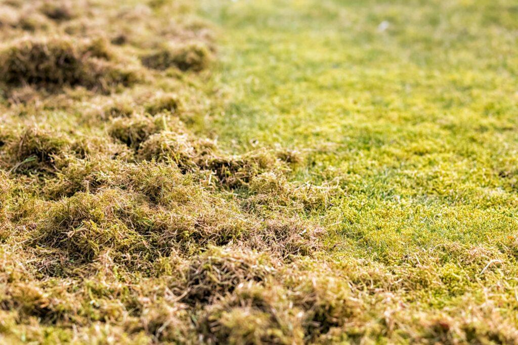 Moos aus dem Rasen ziehen
